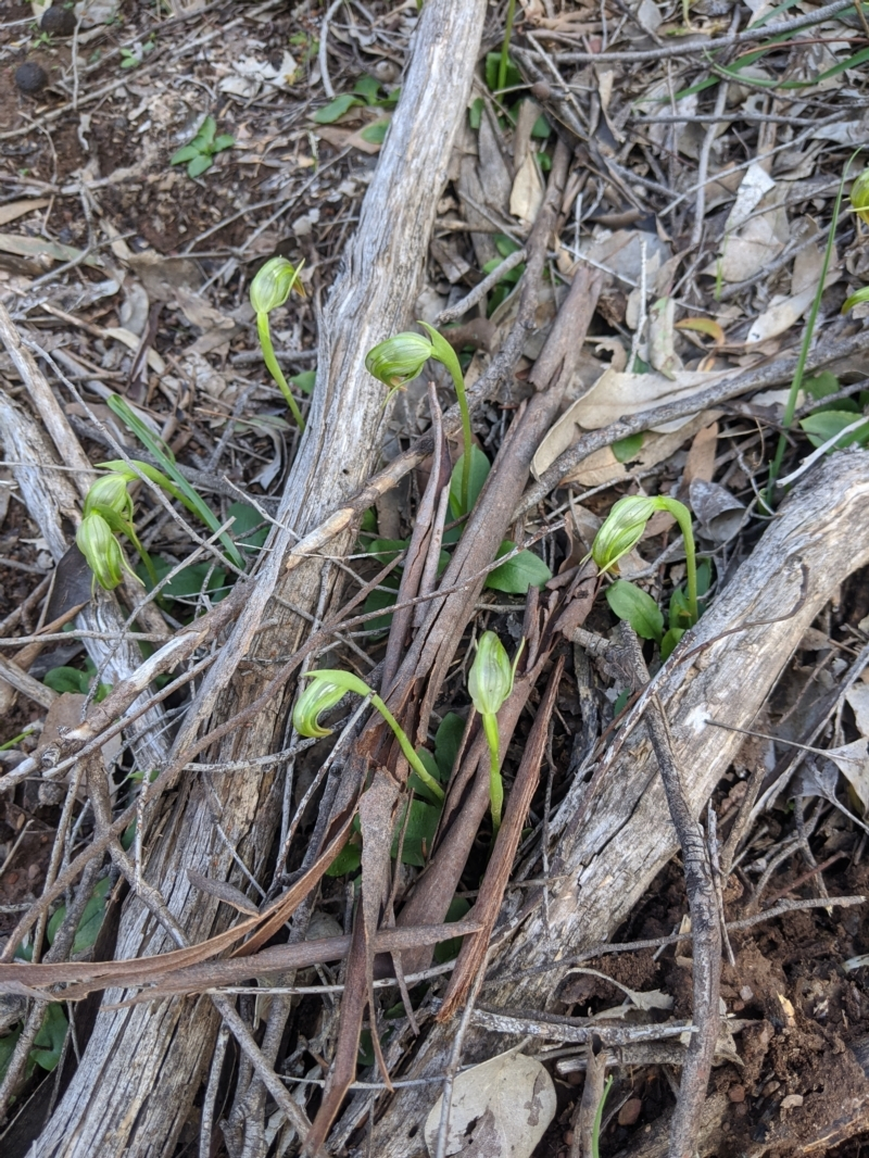 Pterostylis nutans at Big Springs, NSW - 18 Aug 2020