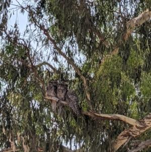 Podargus strigoides (Tawny Frogmouth) at Heathcote, VIC by Darcy
