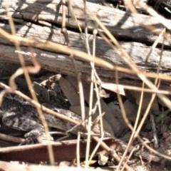 Amphibolurus muricatus (Jacky Lizard) at Tuggeranong DC, ACT - 22 Aug 2021 by RAllen