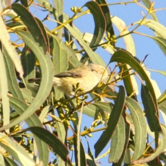 Smicrornis brevirostris (Weebill) at Throsby, ACT - 30 Aug 2021 by davobj