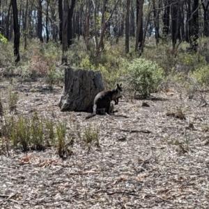 Wallabia bicolor (TBC) at suppressed by Darcy
