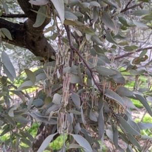 Amyema quandang var. quandang (Grey Mistletoe) at Mitiamo, VIC by Darcy