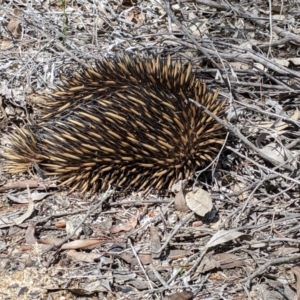 Tachyglossus aculeatus (TBC) at suppressed by Darcy
