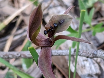 Chiloglottis X pescottiana (Bronze bird orchid) at Woomargama, NSW - 29 Sep 2020 by Darcy