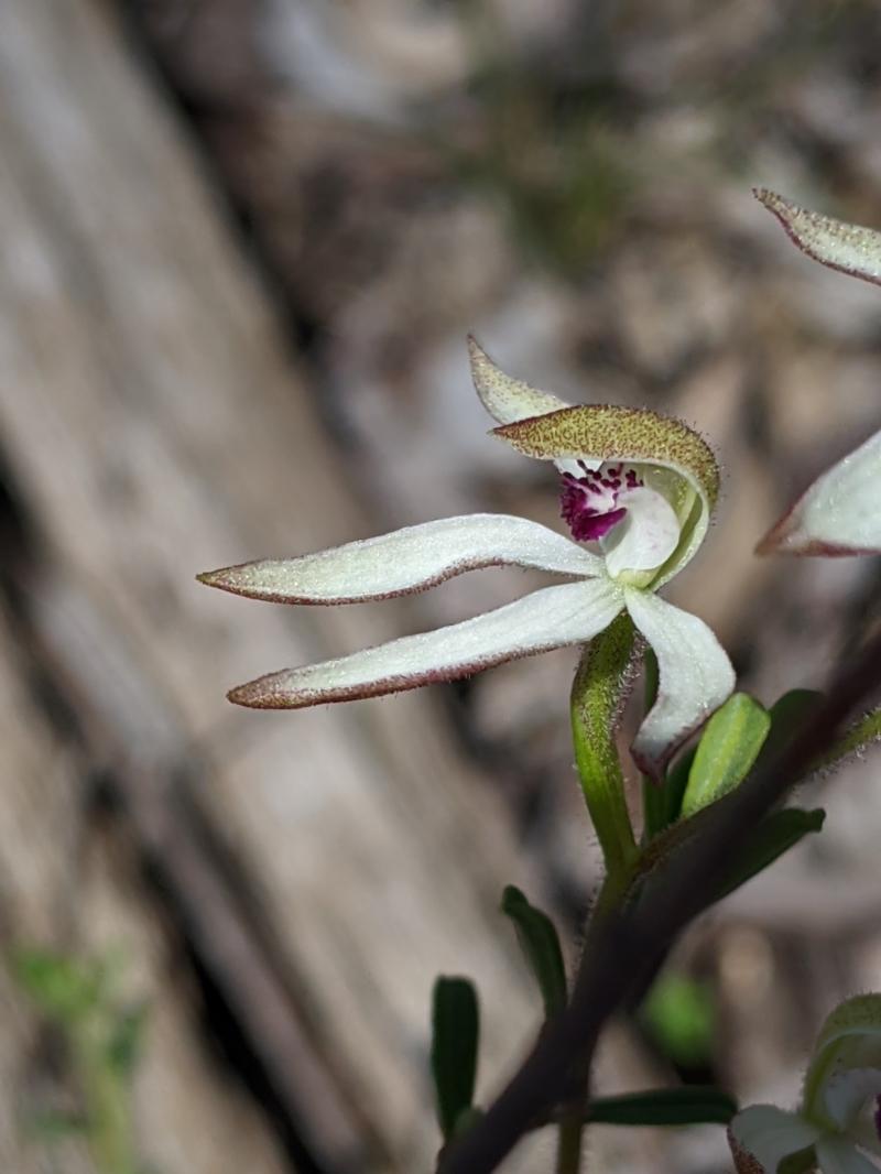 Caladenia cucullata at suppressed - 2 Oct 2020