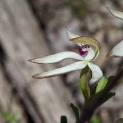 Caladenia cucullata (Lemon caps) at Big Springs, NSW - 2 Oct 2020 by Darcy