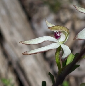 Caladenia cucullata (Lemon caps) at suppressed by Darcy