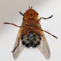 Microtropesa sp. (genus) (Tachinid fly) at Evatt, ACT - 31 Aug 2021 by TimL