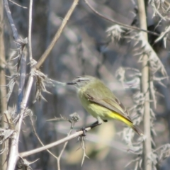 Acanthiza chrysorrhoa (Yellow-rumped Thornbill) at Hawker, ACT - 31 Aug 2021 by Christine