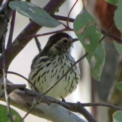 Pyrrholaemus sagittatus (Speckled Warbler) at Hawker, ACT - 31 Aug 2021 by Christine