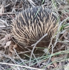 Tachyglossus aculeatus (Short-beaked Echidna) at O'Connor, ACT - 1 Sep 2021 by jpittock