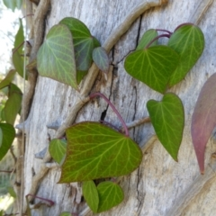 Hedera helix (Ivy) at Kaleen, ACT - 1 Sep 2021 by Dibble
