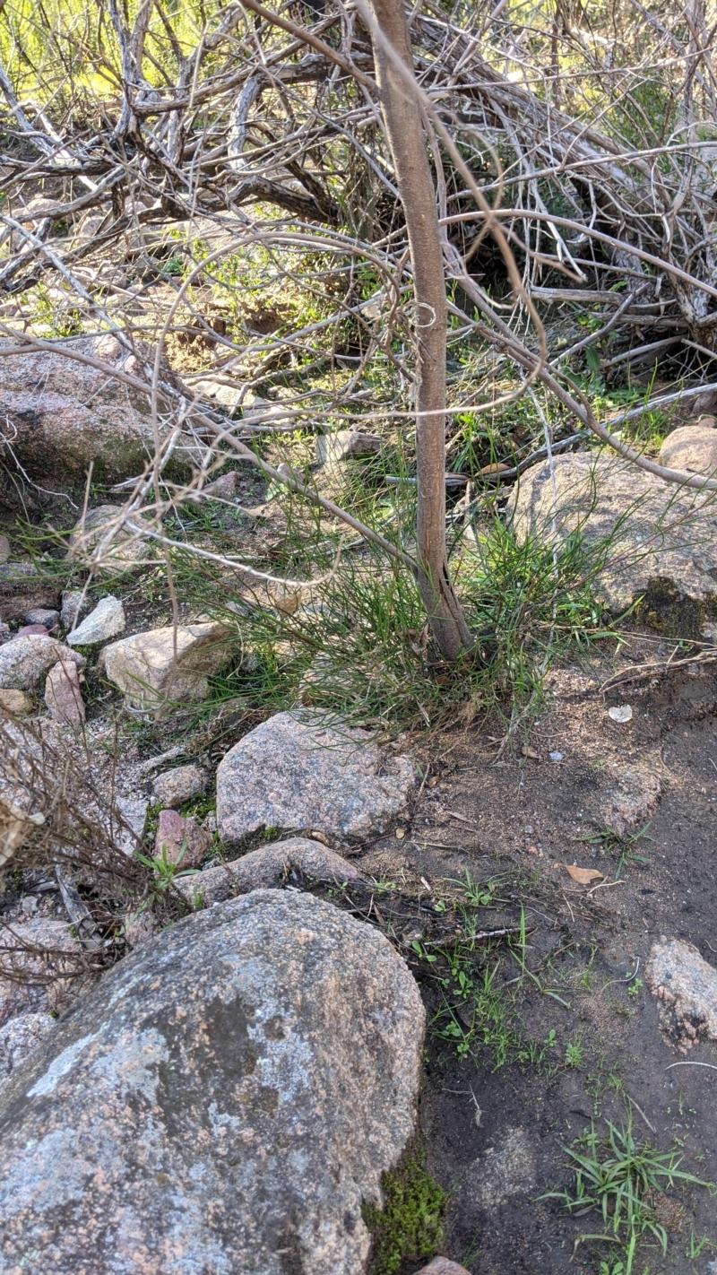 Acacia phasmoides at suppressed - 29 May 2021
