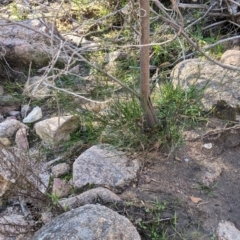 Acacia phasmoides (Phantom Wattle) at Talmalmo, NSW - 29 May 2021 by Darcy