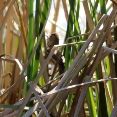 Acrocephalus australis (Australian Reed-Warbler) at Bonython, ACT - 1 Sep 2021 by RodDeb
