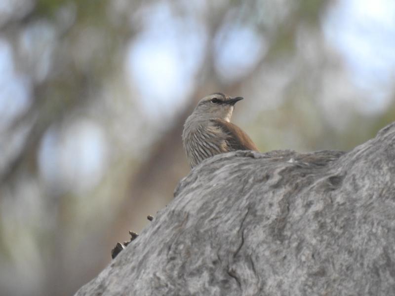 Climacteris picumnus at Deniliquin, NSW - 15 Nov 2020