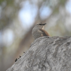 Climacteris picumnus (Brown Treecreeper) at Deniliquin, NSW - 14 Nov 2020 by Liam.m