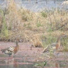 Dendrocygna eytoni (Plumed Whistling-Duck) at Wanganella, NSW - 14 Nov 2020 by Liam.m