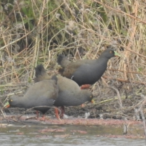 Tribonyx ventralis (Black-tailed Nativehen) at suppressed by Liam.m