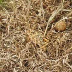Unidentified Grasshopper, Cricket or Katydid (Orthoptera) (TBC) at Wanganella, NSW - 14 Nov 2020 by Liam.m