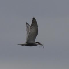 Chlidonias hybrida (Whiskered Tern) at Wanganella, NSW - 14 Nov 2020 by Liam.m