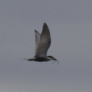 Chlidonias hybrida (Whiskered Tern) at suppressed by Liam.m