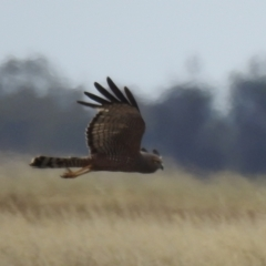 Circus assimilis (Spotted Harrier) at Urana, NSW - 15 Nov 2020 by Liam.m