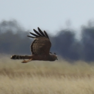Circus assimilis (Spotted Harrier) at Urana, NSW by Liam.m