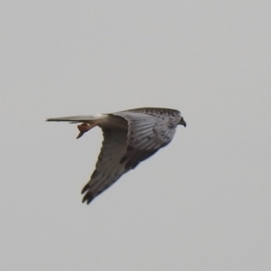 Circus approximans (Swamp Harrier) at suppressed by Liam.m