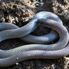 Aprasia parapulchella (Pink-tailed Worm-lizard) at Holt, ACT - 31 Aug 2021 by JasonC