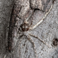 Tamopsis sp. (genus) (Two-tailed spider) at Bruce, ACT - 1 Sep 2021 by Roger