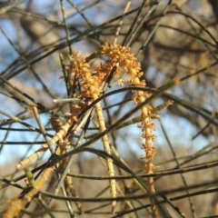 Allocasuarina verticillata (Drooping Sheoak) at Calwell, ACT - 10 Aug 2021 by michaelb