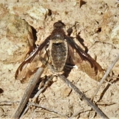 Aleucosia sp. (genus) (Bee Fly) at Tennent, ACT - 2 Sep 2021 by JohnBundock