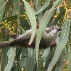 Melithreptus brevirostris (Brown-headed Honeyeater) at Holt, ACT - 28 Aug 2021 by Christine