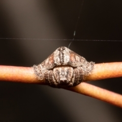 Dolophones sp. (Wrap-around Spider) at Holt, ACT - 2 Sep 2021 by Roger