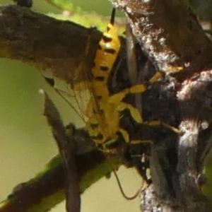 Xanthopimpla sp. (genus) (A yellow Ichneumon wasp) at Braemar, NSW by Curiosity