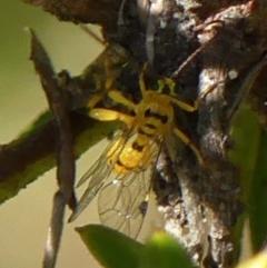 Xanthopimpla sp. (genus) at Braemar, NSW - 1 Sep 2021