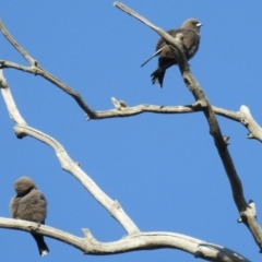 Artamus cyanopterus (Dusky Woodswallow) at Stromlo, ACT - 1 Sep 2021 by HelenCross