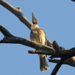 Philemon corniculatus (Noisy Friarbird) at Kambah, ACT - 2 Sep 2021 by HelenCross