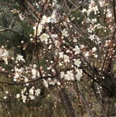 Prunus cerasifera (Cherry Plum) at Red Hill, ACT - 29 Aug 2021 by Tapirlord