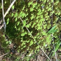 Unidentified Moss / Liverwort / Hornwort (TBC) at Red Hill, ACT - 29 Aug 2021 by Tapirlord