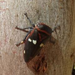 Eurymela fenestrata (Gum tree leafhopper) at Holt, ACT - 2 Sep 2021 by Christine