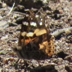 Vanessa kershawi (Australian Painted Lady) at Symonston, ACT - 1 Sep 2021 by RobParnell