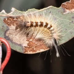 Trichiocercus sparshalli (Sparshall's Moth) at Holt, ACT - 2 Sep 2021 by Roger