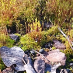 Pottiaceae (TBC) at Aranda, ACT - 17 Aug 2021 by MPhillips