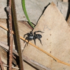 Nyssus albopunctatus (White-spotted swift spider) at Cook, ACT - 1 Sep 2021 by Tammy