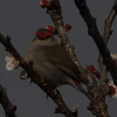 Neochmia temporalis (Red-browed Finch) at Macgregor, ACT - 31 Aug 2021 by Caric