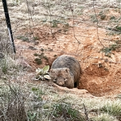 Vombatus ursinus (Common Wombat, Bare-nosed Wombat) at Molonglo Valley, ACT - 26 Aug 2021 by Jeezwe