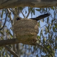 Corcorax melanorhamphos (White-winged Chough) at Majura, ACT - 2 Sep 2021 by trevsci