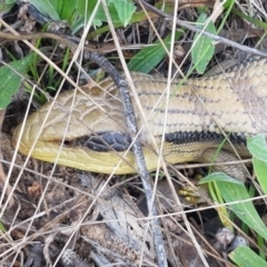 Tiliqua scincoides scincoides (Eastern Blue-tongue) at Hawker, ACT - 3 Sep 2021 by tpreston